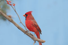 Redbird. A male cardinal perched on a berry vine stock photography