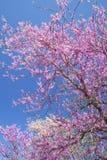 Redbloom dereni i drzew kwiaty przeciw jasnemu niebieskiemu niebu. Obraz Stock