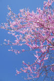 Redbloom Tree blooms against a clear blue sky. Royalty Free Stock Images