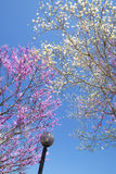 Redbloom Trees and Dogwoods blooms against a clear blue sky. Royalty Free Stock Images