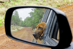 Redbone Coonhound Royalty Free Stock Photography