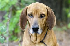 Redbone Coonhound hunting dog, animal shelter pet adoption photo. Unneutered male Redbone Coonhound dog with floppy ears outside with black leash. Heartworm stock images