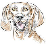 redbone för coonhoundhundstående Arkivfoto