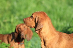 Redbone Hound Dog. S playing in the pasture Royalty Free Stock Image