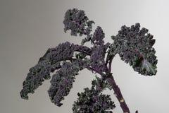 Redbor eller purpurfärgad växt för lockig grönkål på Gray Background Royaltyfria Foton