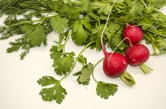 Edible herbs from fragrant sprigs of dill and cilantro with round red radishes on a white background. Freshly harvested edible herbs from fragrant sprigs of dill royalty free stock images