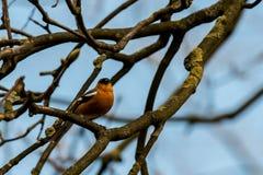Redbreast Робина сидя в дереве Стоковое Изображение