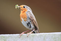 Redbreast. With food for the young birds Royalty Free Stock Images