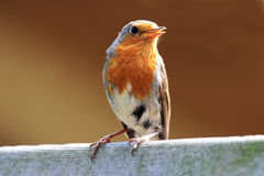 Redbreast bird Stock Photos
