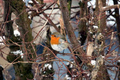 A redbreast at the bird feeder. A regular guest in the garden Royalty Free Stock Images