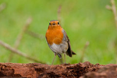 Redbreast Royalty Free Stock Photo