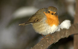 Redbreast Stock Photography