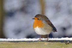 Redbreast di Robin () Fotografia Stock