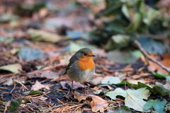 The redbreast. On the fallen autumn leaves Royalty Free Stock Photo