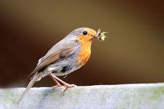 Redbreast with food Royalty Free Stock Photography