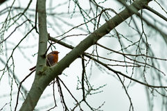 Redbreast Royalty Free Stock Photos