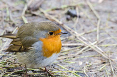 Redbreast Royalty Free Stock Image