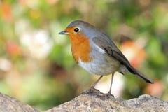 redbreast Robin στοκ φωτογραφία με δικαίωμα ελεύθερης χρήσης