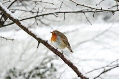 redbreast Robin Στοκ φωτογραφίες με δικαίωμα ελεύθερης χρήσης