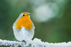 Redbreast Stock Photo