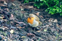 Robin redbreast - Erithatcus rubecula - in garden royalty free stock image