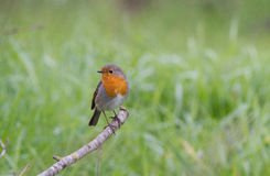 Redbreast. On tree in the garden Royalty Free Stock Photography