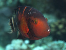 Redbreasted wrasse Royalty Free Stock Photography