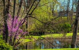 Redbud和池塘 库存图片