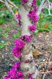 Redbud树在春天 免版税库存图片