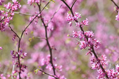 Redbud foto de stock royalty free