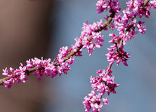 Redbud Royalty Free Stock Photography