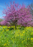 Redbud树 库存图片