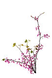 Redbud Royalty Free Stock Photos