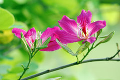Redbud bauhinia Stock Photo