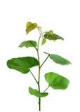 Redbud Blätter Lizenzfreie Stockfotos