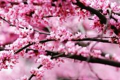 Redbud Blüten Lizenzfreie Stockfotografie