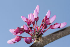 Redbud blooming. Stock Images
