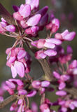 Redbud blooming. Royalty Free Stock Photo
