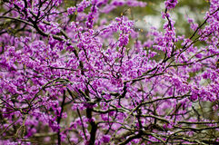 Redbud blooms. Redbud tree in spring blooms royalty free stock photography