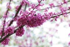 Redbud Blossom stock image