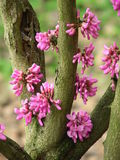 Redbud blossoming Royalty Free Stock Photo