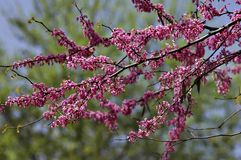 Redbud Blossoms Stock Photography