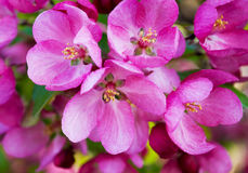 Redbud blossoms in spring Stock Image