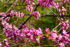 Redbud blossoms Stock Photos