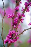 Redbud. Branch in spring budding royalty free stock images