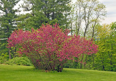 Redbud Cercis canadensis Stock Photography