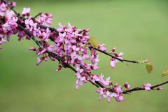 Redbud d'Eatern, ressort photos stock