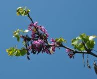 Redbud drzewo Obrazy Stock