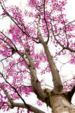 Redbud drzewo przy wiosną Obraz Stock