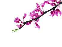 Redbud Flower. Branch of redbud flowers isolated on white background Royalty Free Stock Photo
